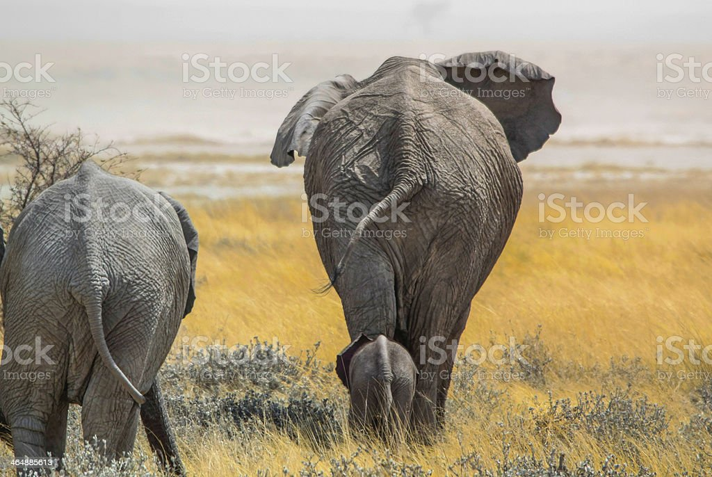 An elephant walking with its baby following closely behind stock photo