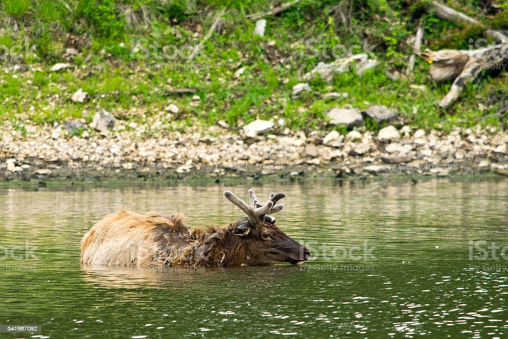 An elk swimming in lake in the wilds stock photo
