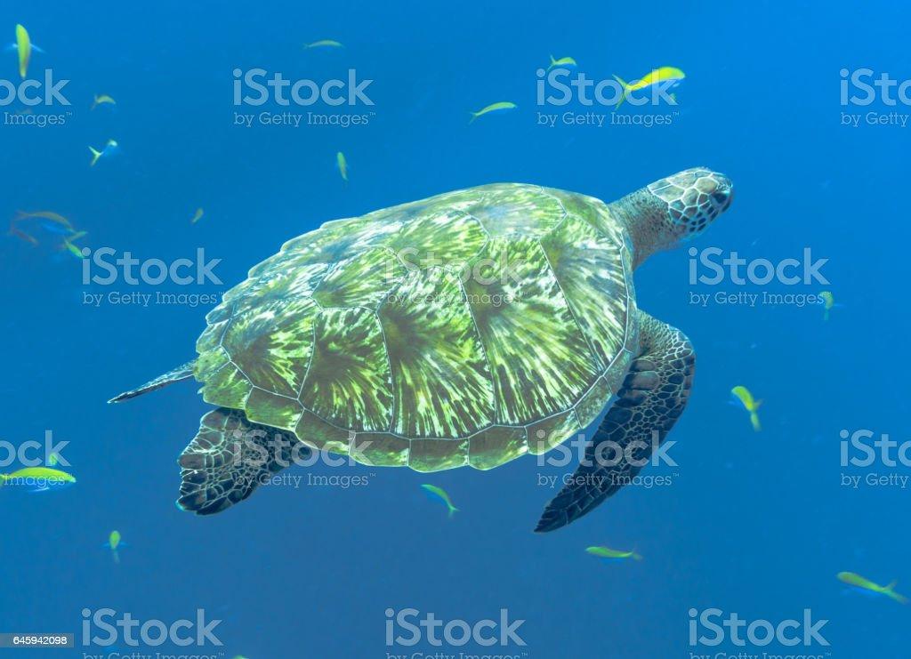 An Endangered Green Sea Turtle (Chelonia mydas), swimming in the Andaman Sea, Krabi, Thailand. stock photo