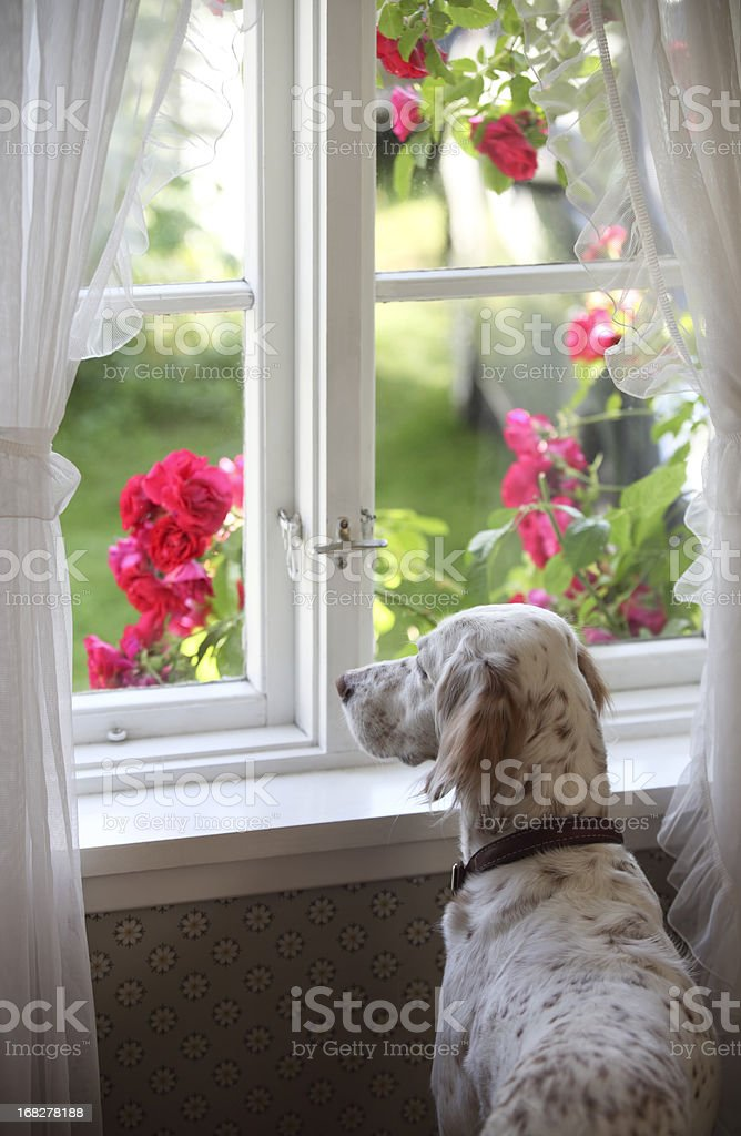 An English Setter looking at the window in Norway stock photo