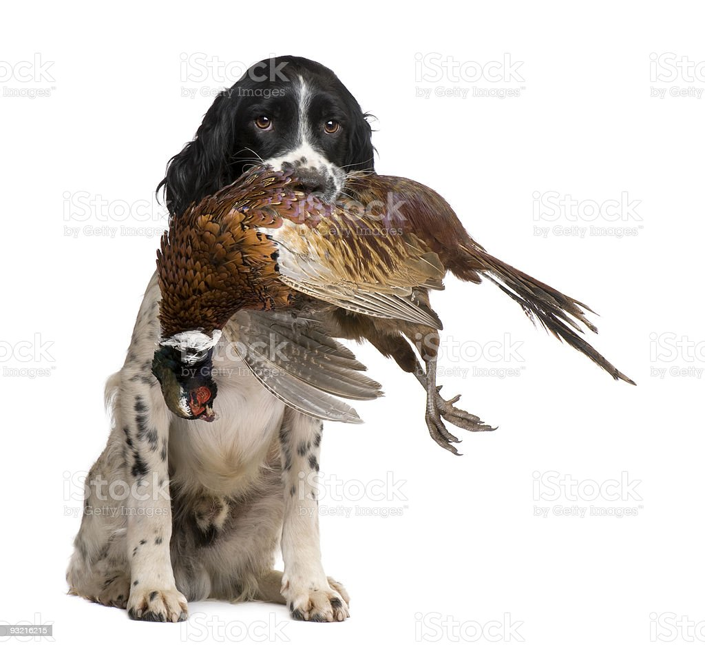 An English springer spaniel with a bird in its mouth stock photo