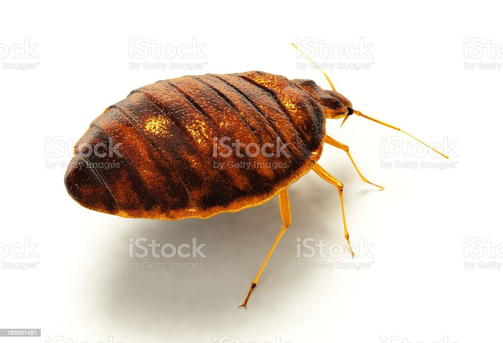 An enlarged photograph of a bedbug showing it up close stock photo