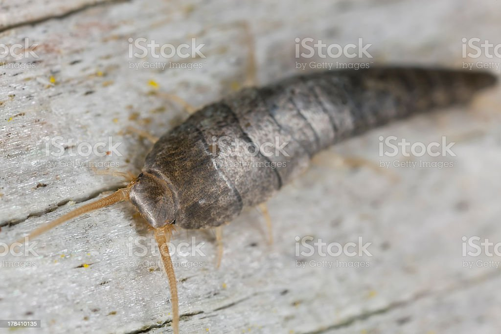 An extreme close-up of a silverfish sitting on a wood stock photo