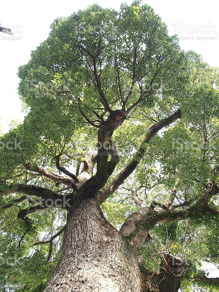 An famous camphor tree in Wakayama, Japan. stock photo