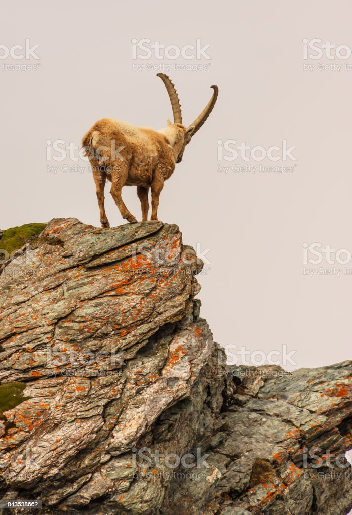 An ibex (capra caucasica) on the Gornergrat mountain cliff, Zermatt, Switzerland stock photo
