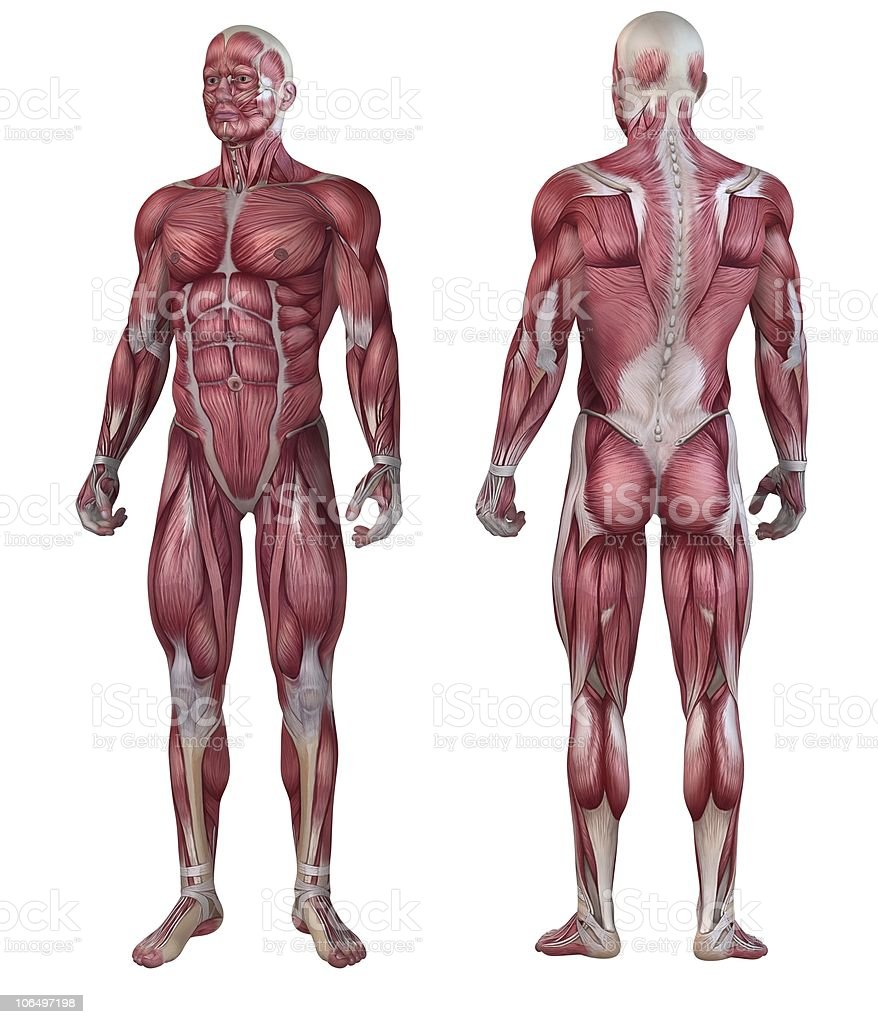 An illustration of the male muscular system on a white back stock photo