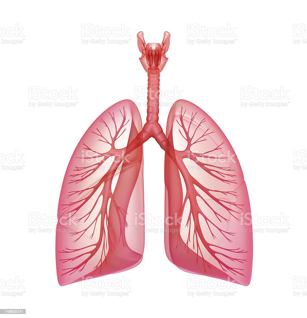 An illustration of the pulmonary system with the lungs stock photo
