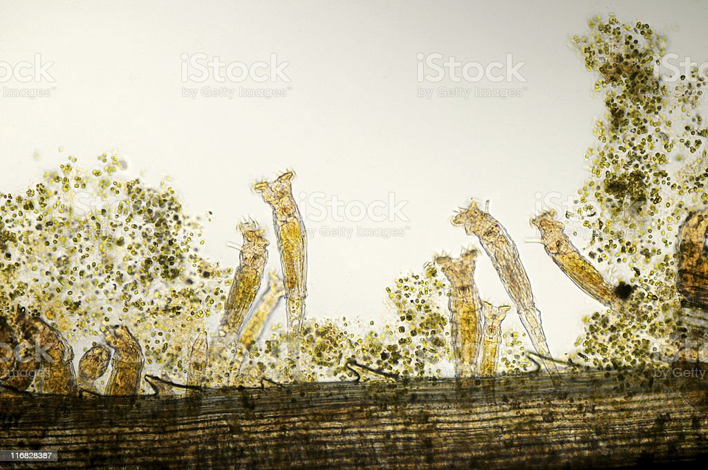 An image of a growing rotifers in a horizontal view stock photo