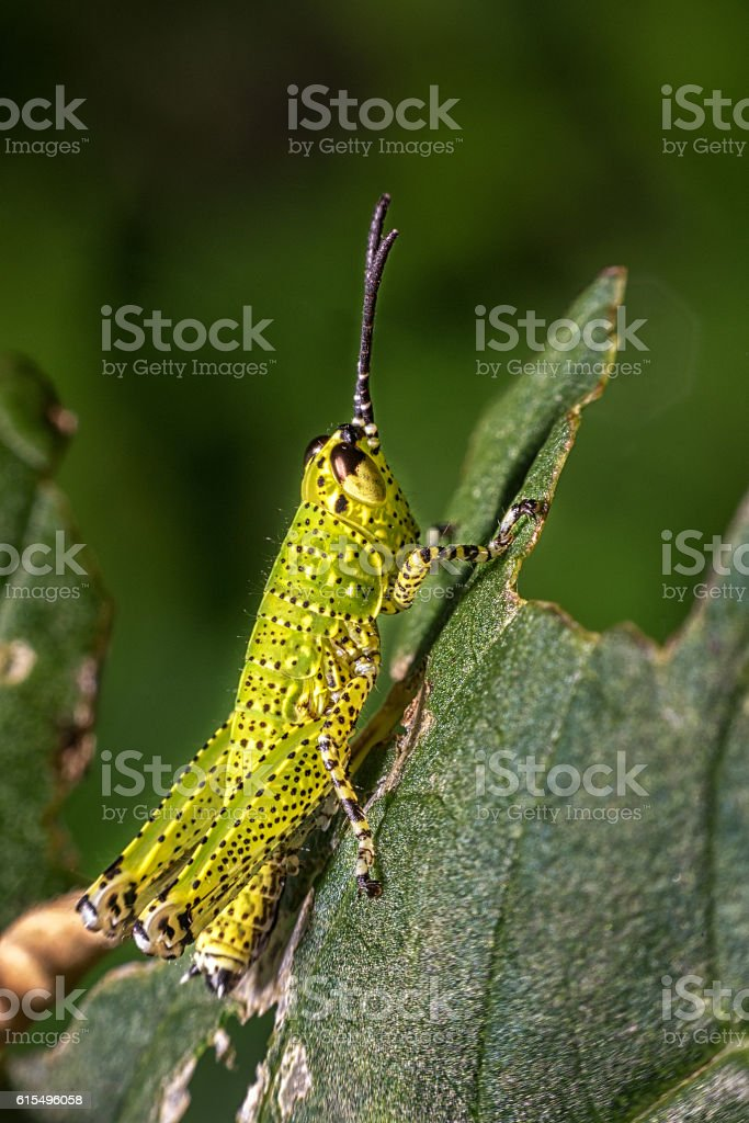 An Image of Grasshoppers on leaf . macro Grasshopper stock photo