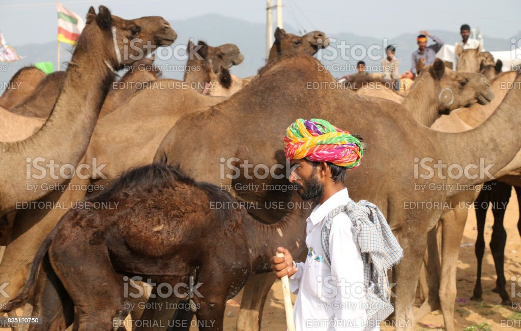 An Indian camel trader daily life stock photo