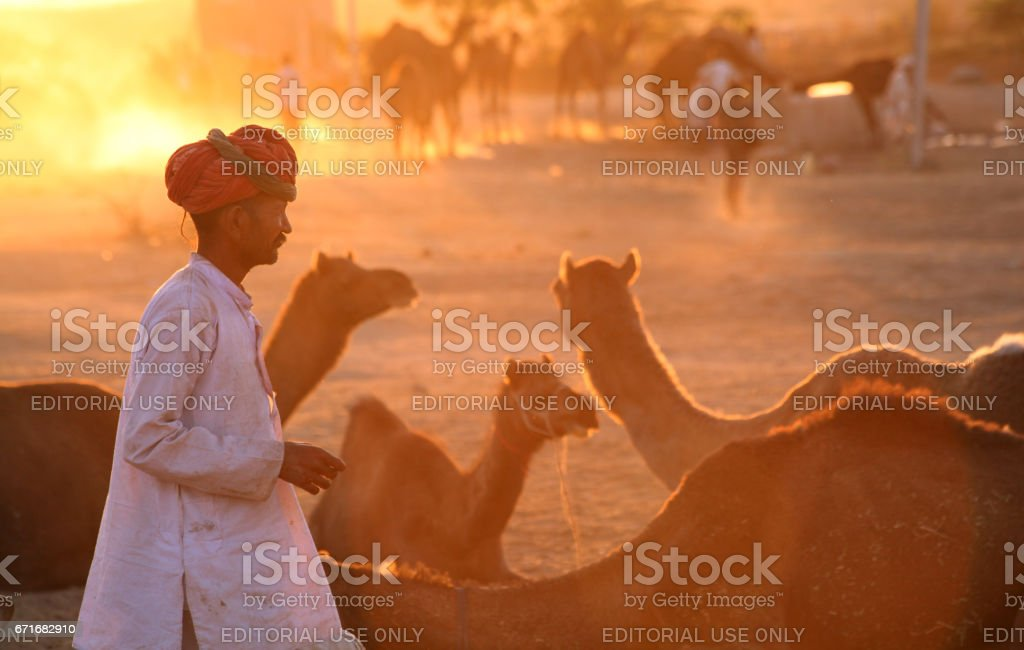 An Indian Rajasthani rural man with his herd of camels at Pushkar Camel Fair Place stock photo