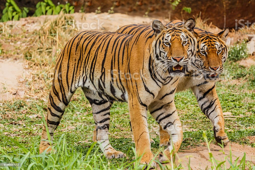 An Indian tiger in the wild. Royal, Bengal tiger stock photo