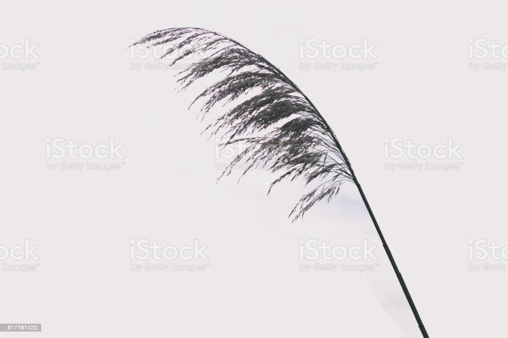 An isolated blade of sea grass on a white background. stock photo