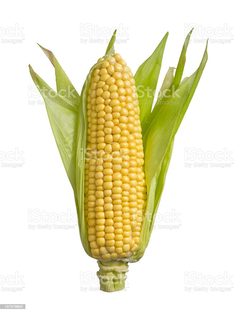 An isolated ear of corn on a white background stock photo