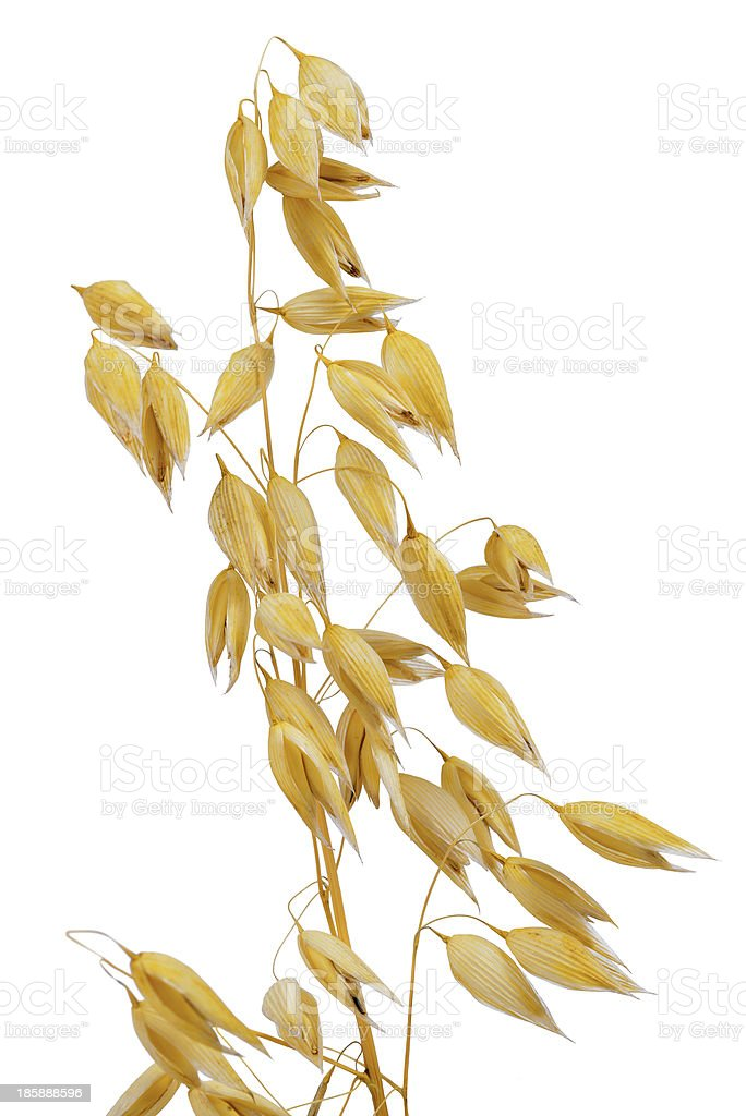 An isolated image of a stalk of oats on a white background stock photo