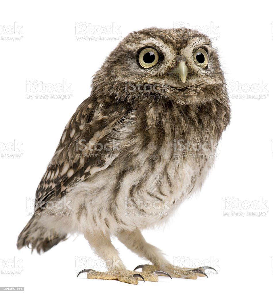 An isolated little owl, Athene noctua, at 50 days old stock photo