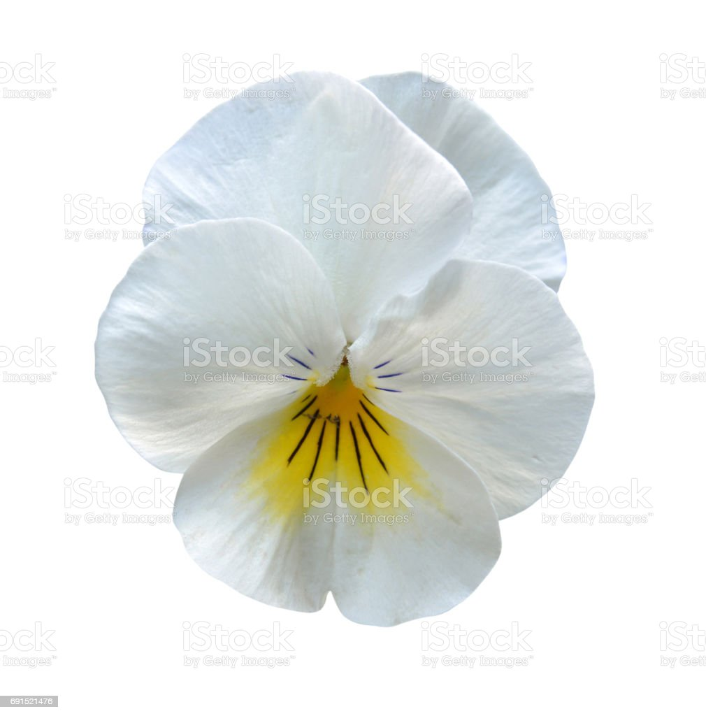 An isolated pansy over white background stock photo