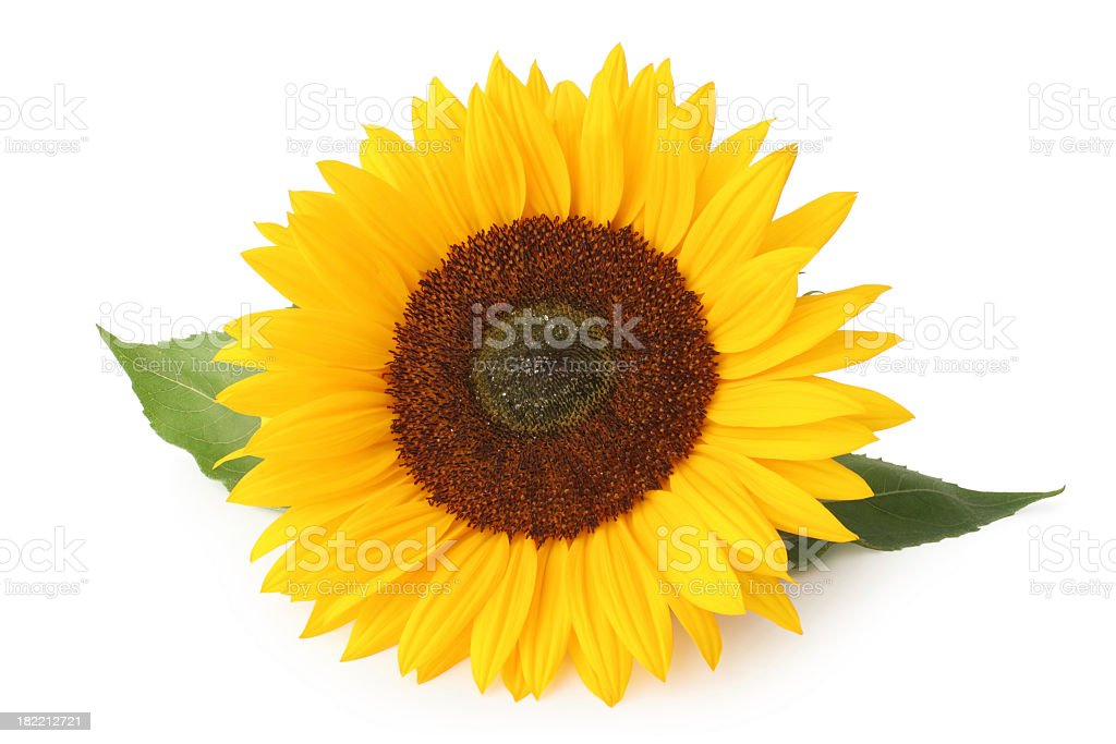 An isolated sunflower on a white background royalty-free stock photo