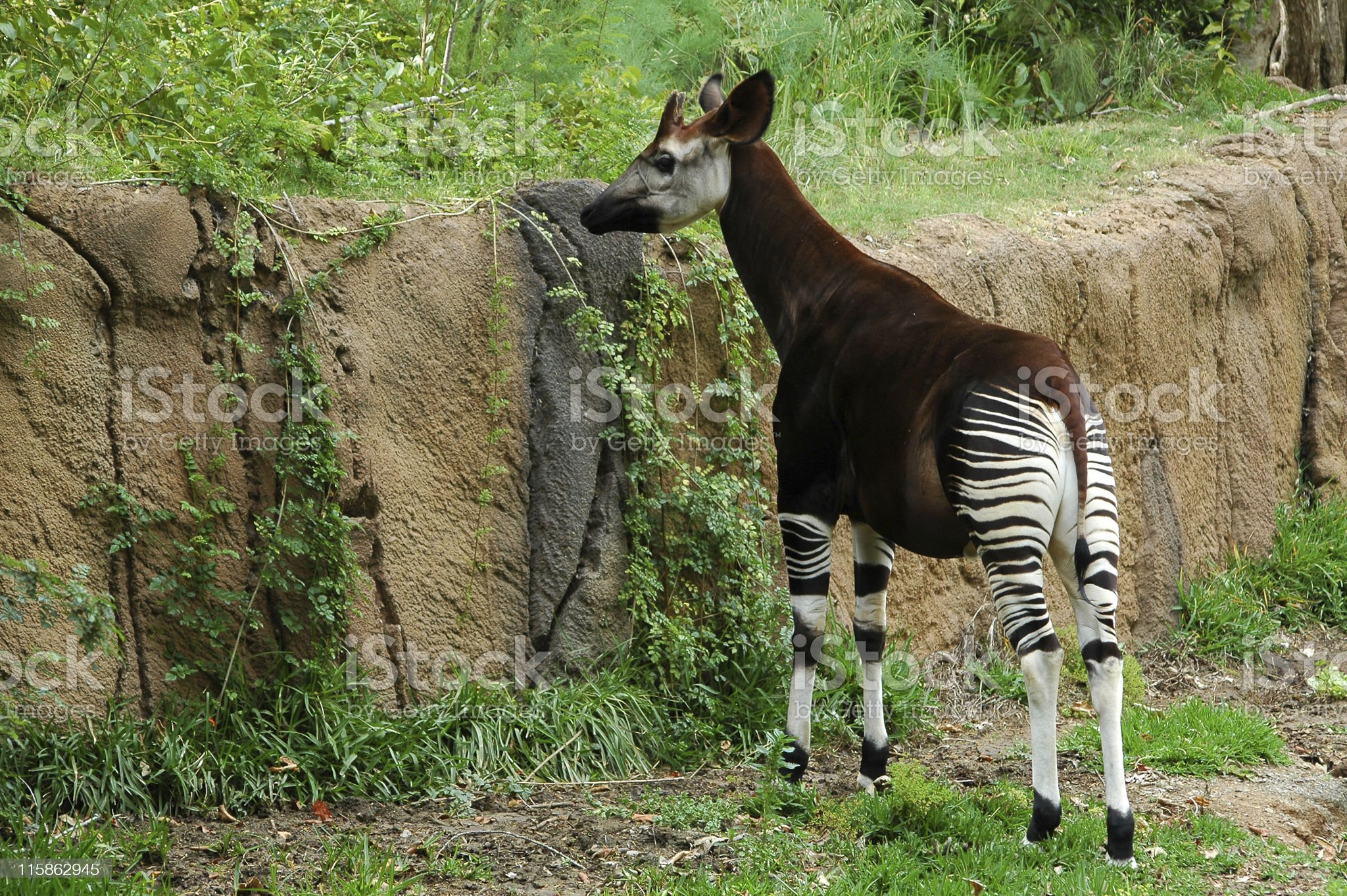 An okapi stands grazing at a rock wall. royalty-free stock photo