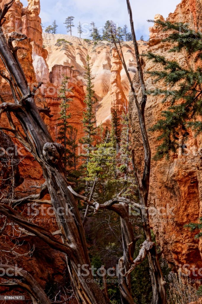 An old pine in the trail of Bryce, Utah. stock photo
