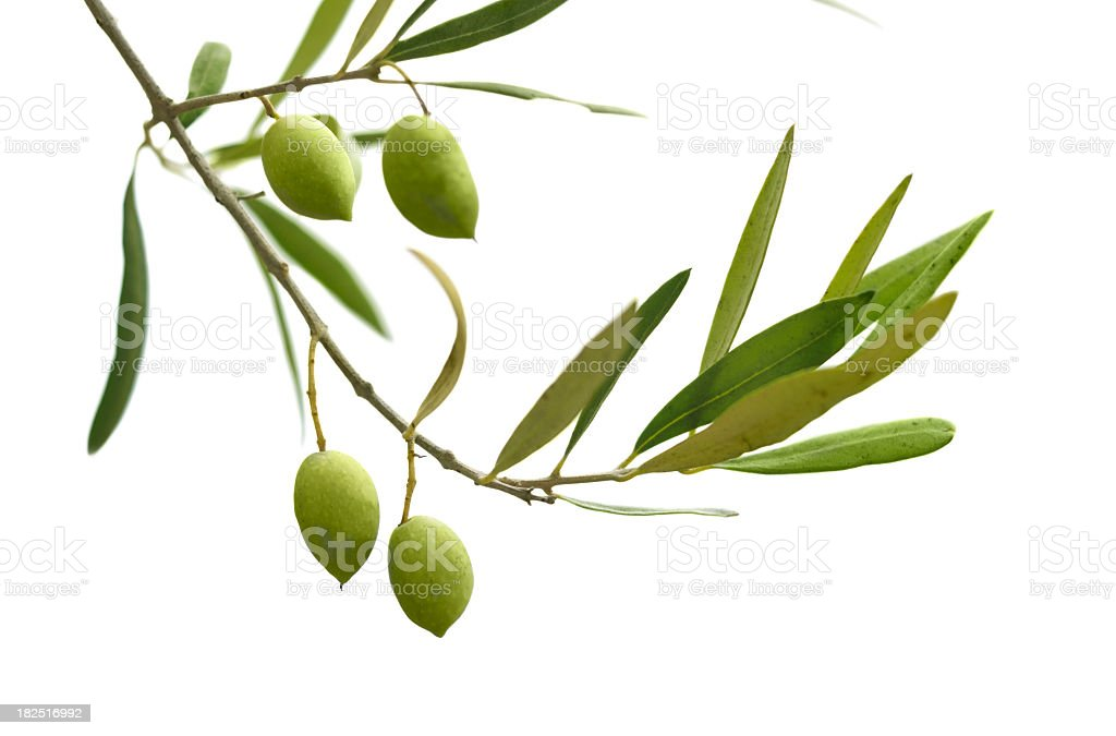 An olive branch with leaves and olives on a white background stock photo
