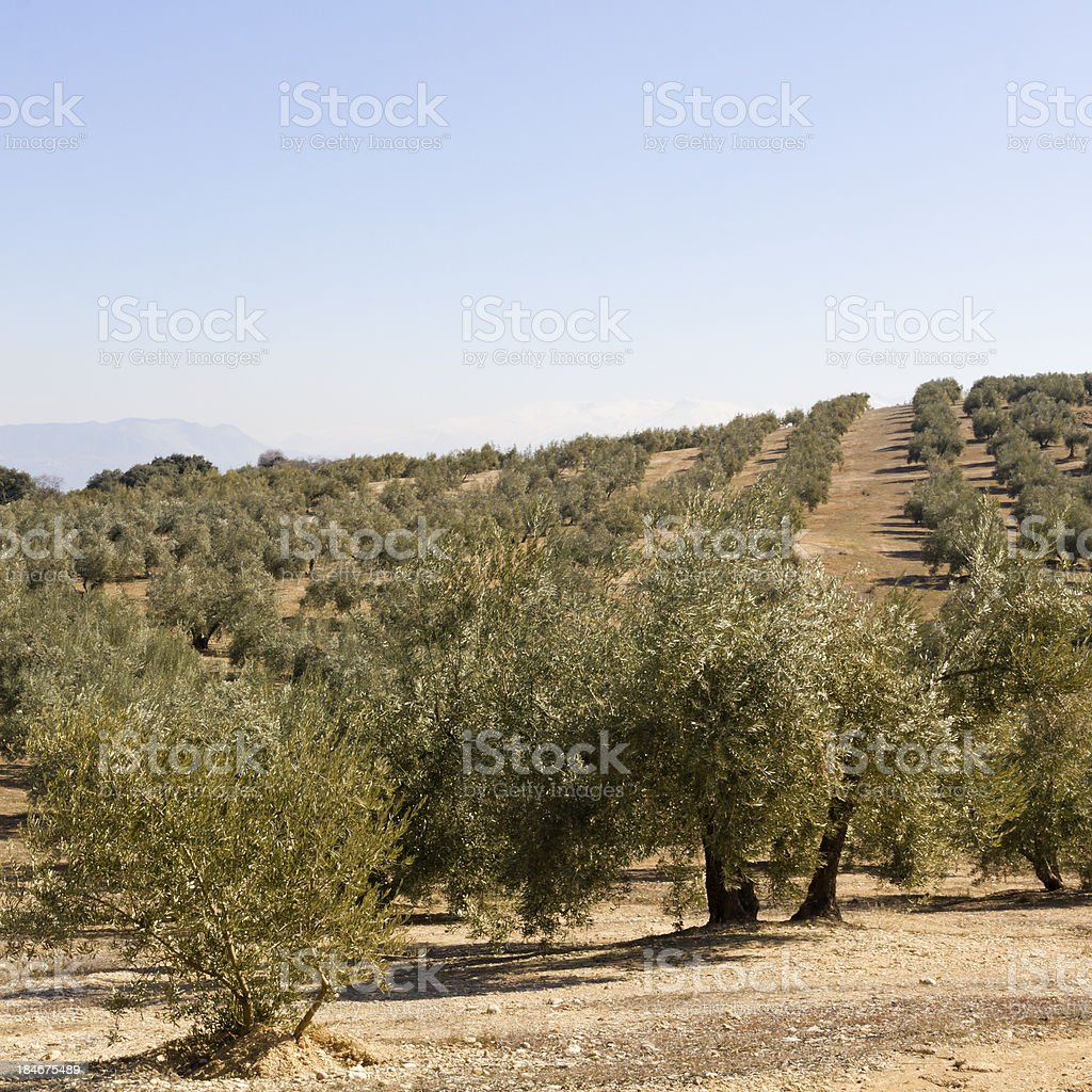 an olive grove in Sevilla royalty-free stock photo