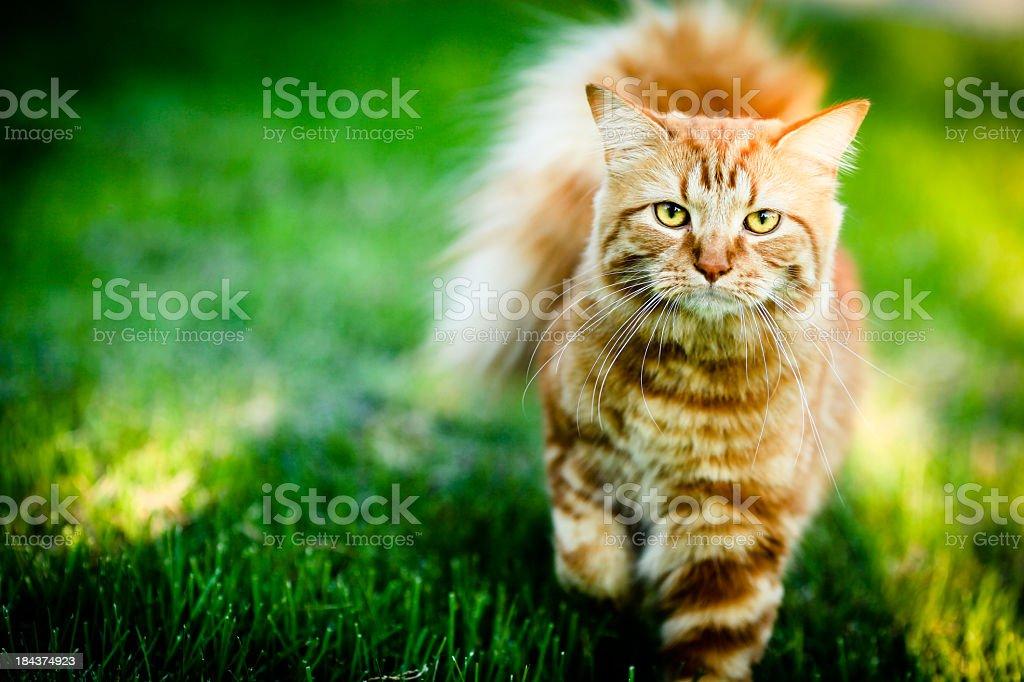 An orange and white striped cat walking through the grass stock photo