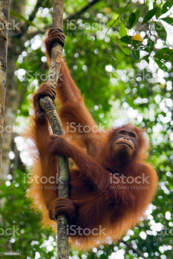 An orangutan in Borneo in Malaysia royalty-free stock photo