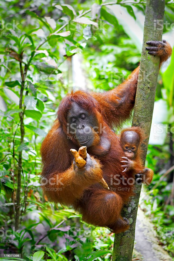An orangutan on a tree in the jungle stock photo