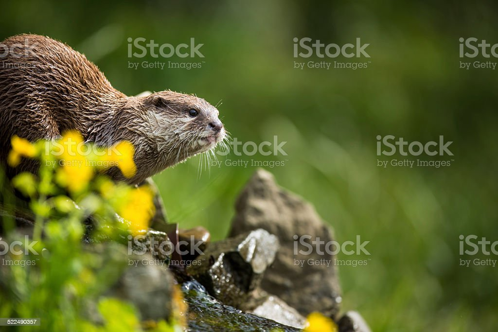 An oriental small-clawed otter stock photo