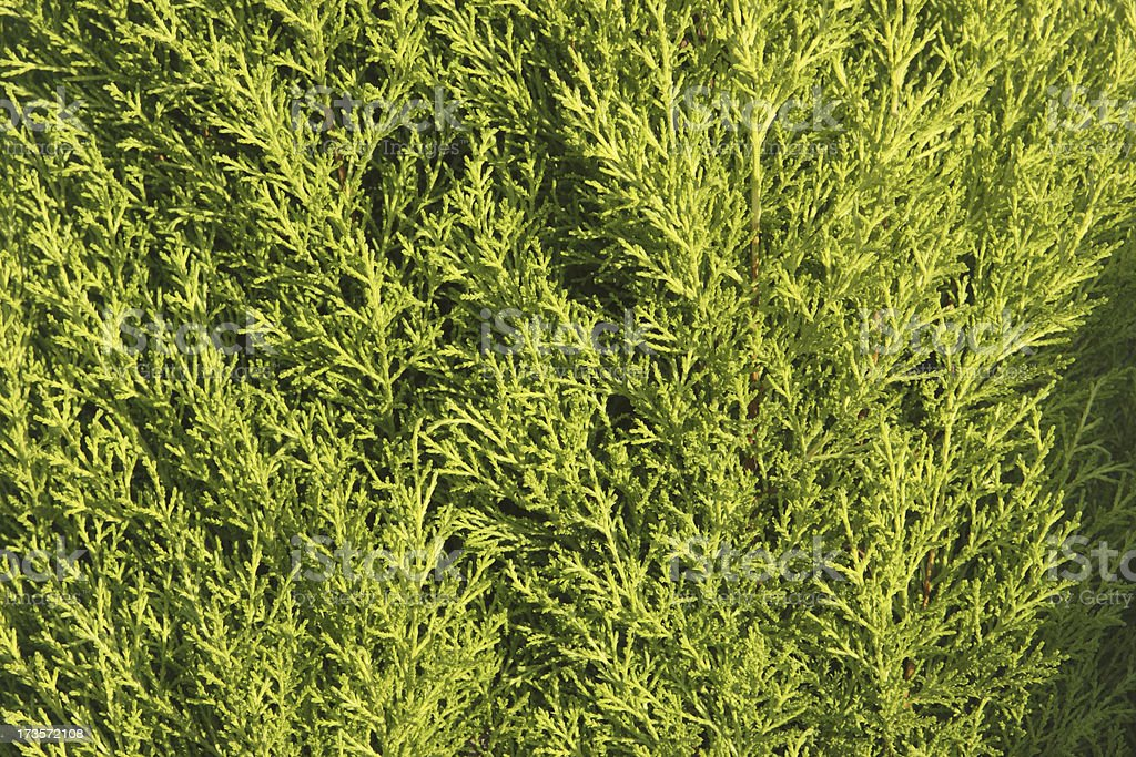 Evergreen cypress leaves yellow green background texture royalty-free stock photo
