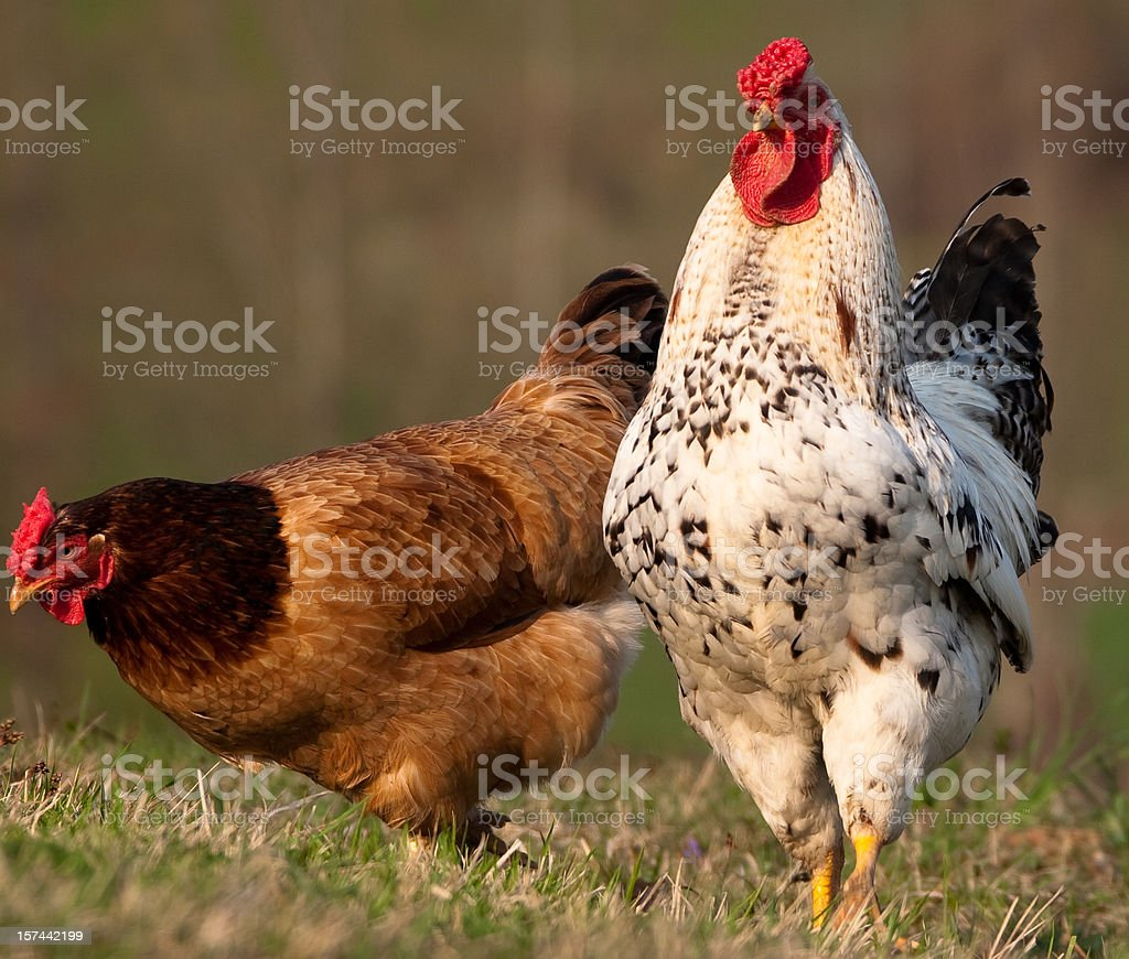 An Orpington hen and a Delaware rooster royalty-free stock photo