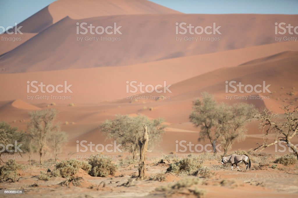 An Oryx walking through Sossusvlei. stock photo