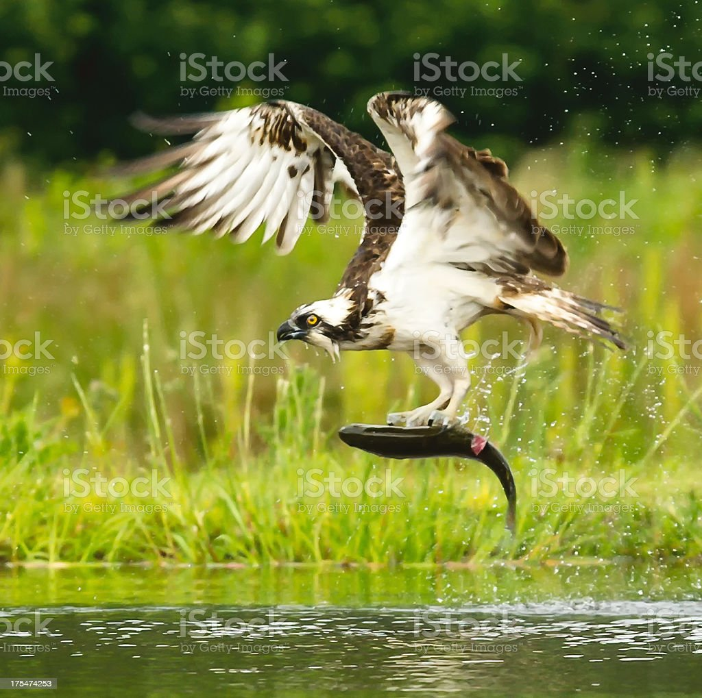 An osprey caught a fish out of the water stock photo