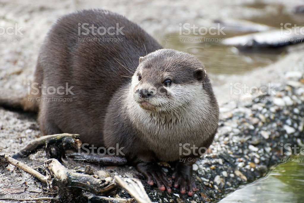 An otter laying down by the water stock photo