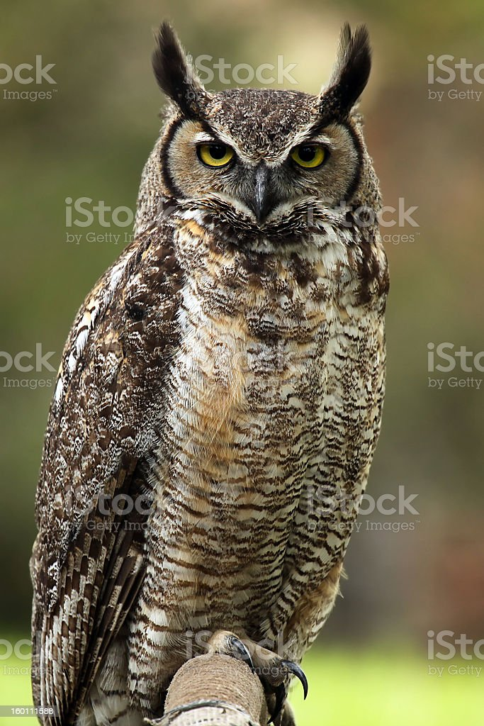An owl with a stoic look on it's face  stock photo