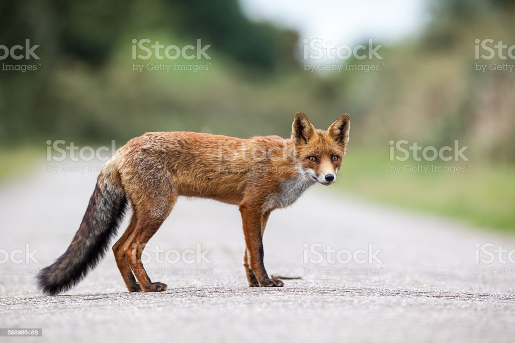 an red fox stock photo