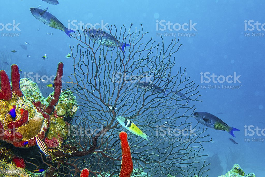 An underwater view of gorgonian in the Caribbean Sea stock photo