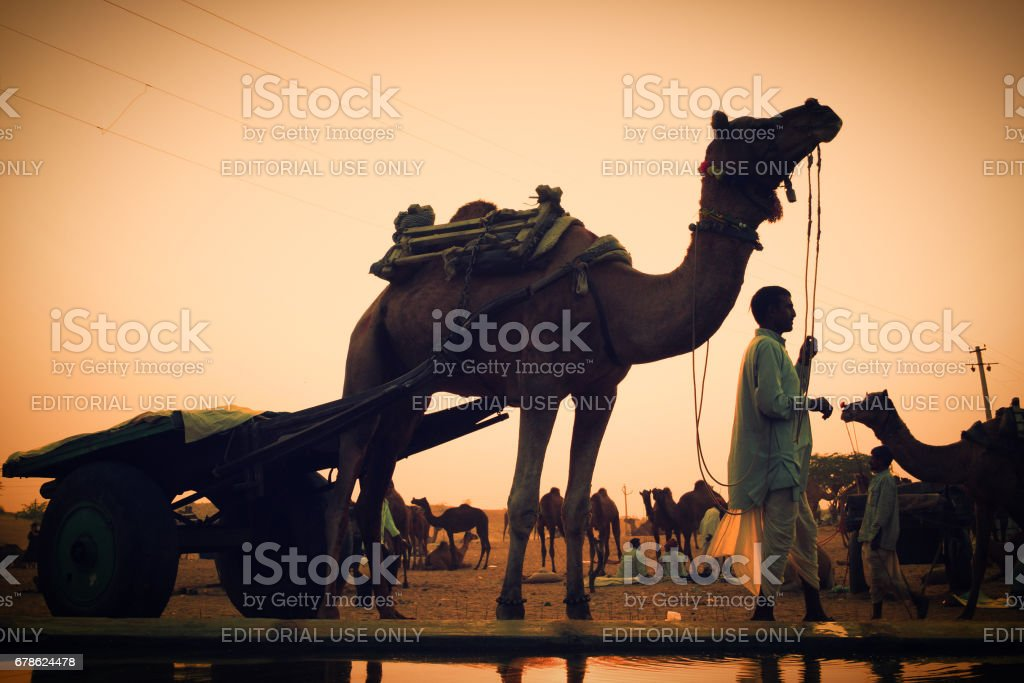 An unidentified cameleer with his camel pulled cart at Pushkar Camel Fair stock photo