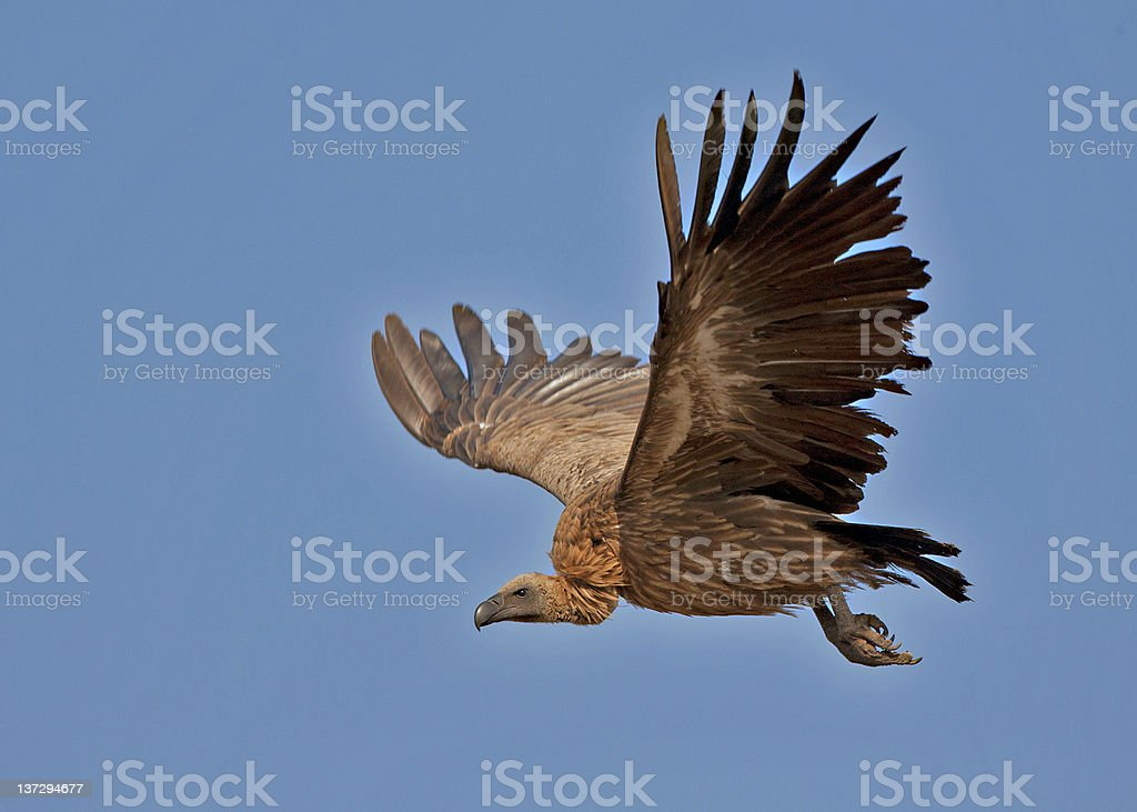 An up close image of a vulture stock photo