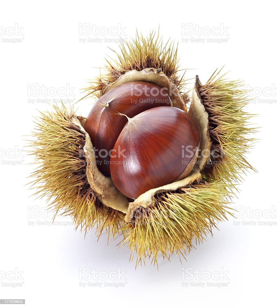 An up close picture of a chestnut stock photo