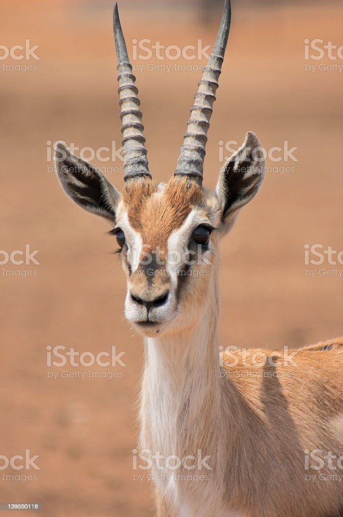 An up close picture of a gazelle stock photo