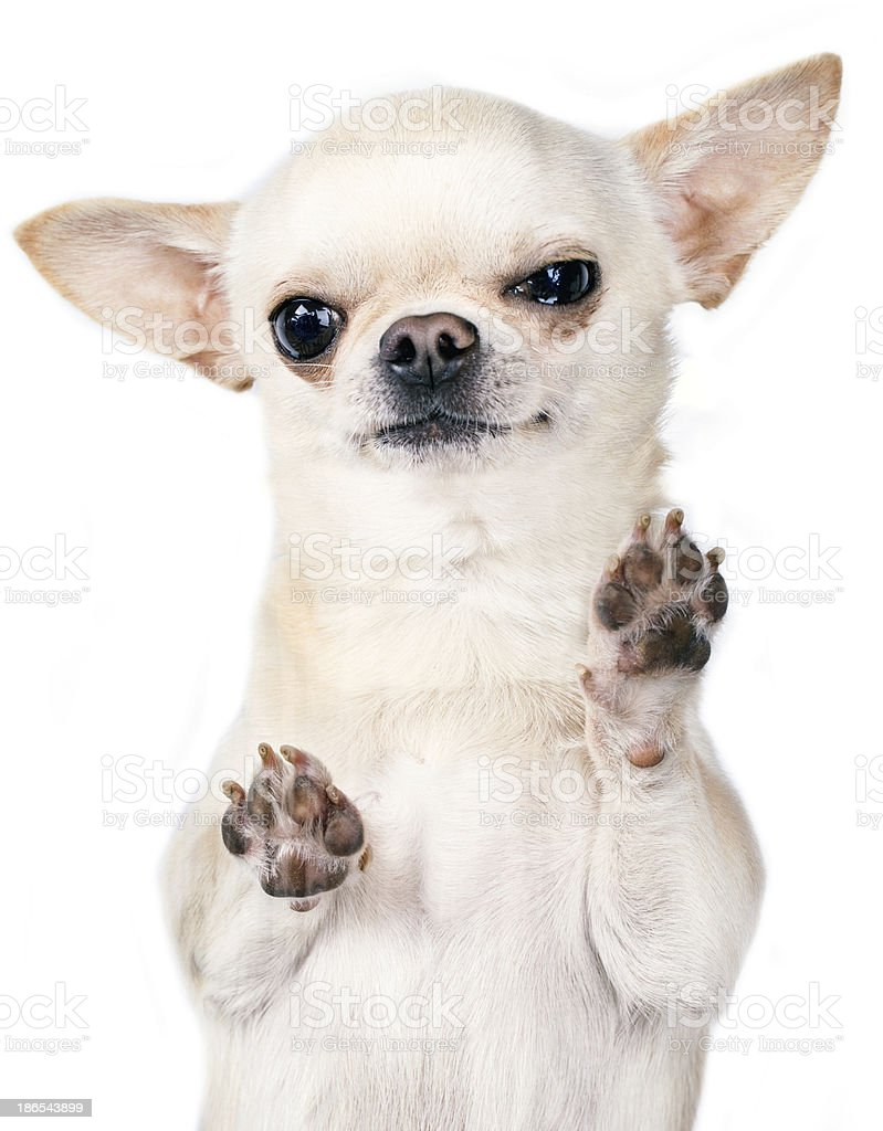 An upset, white Chihuahua with paws on the screen  stock photo