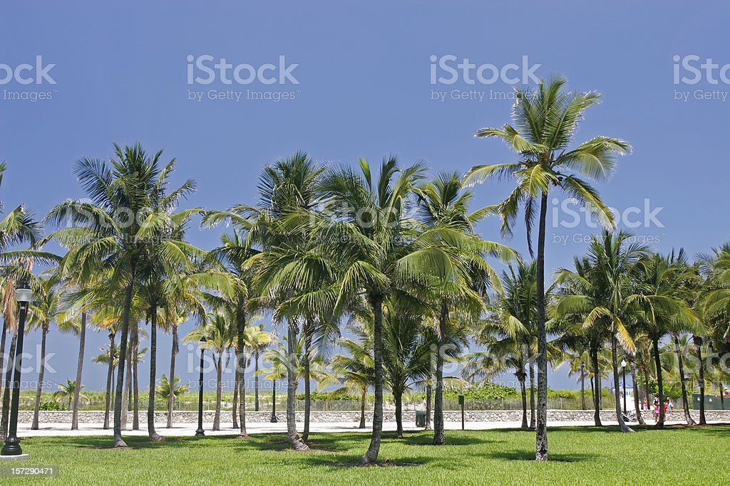 An urban grove of palm trees on a summer day royalty-free stock photo