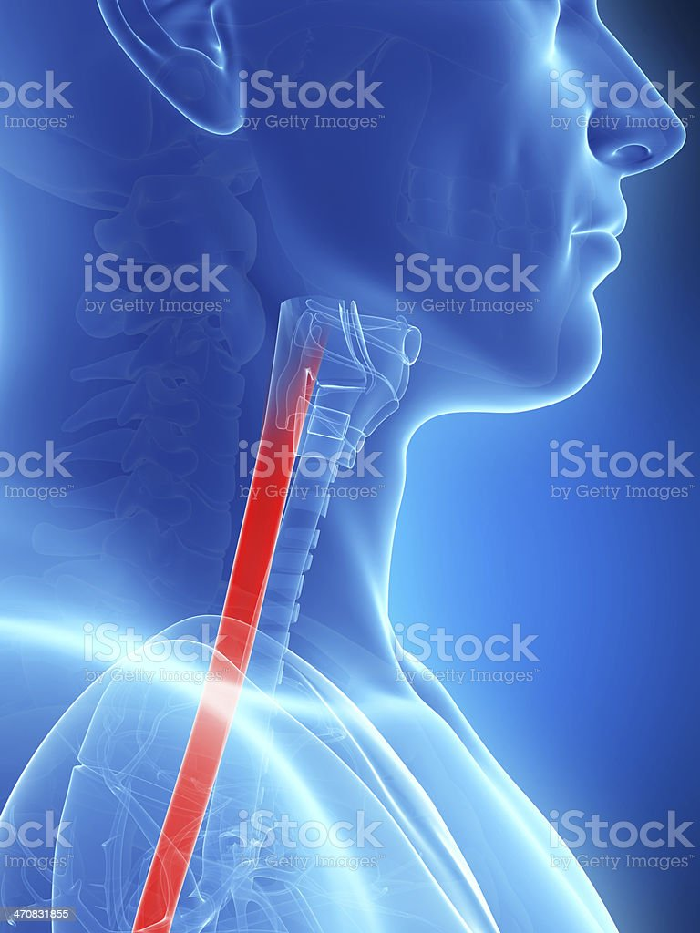 An X Ray image of the esophagus stock photo