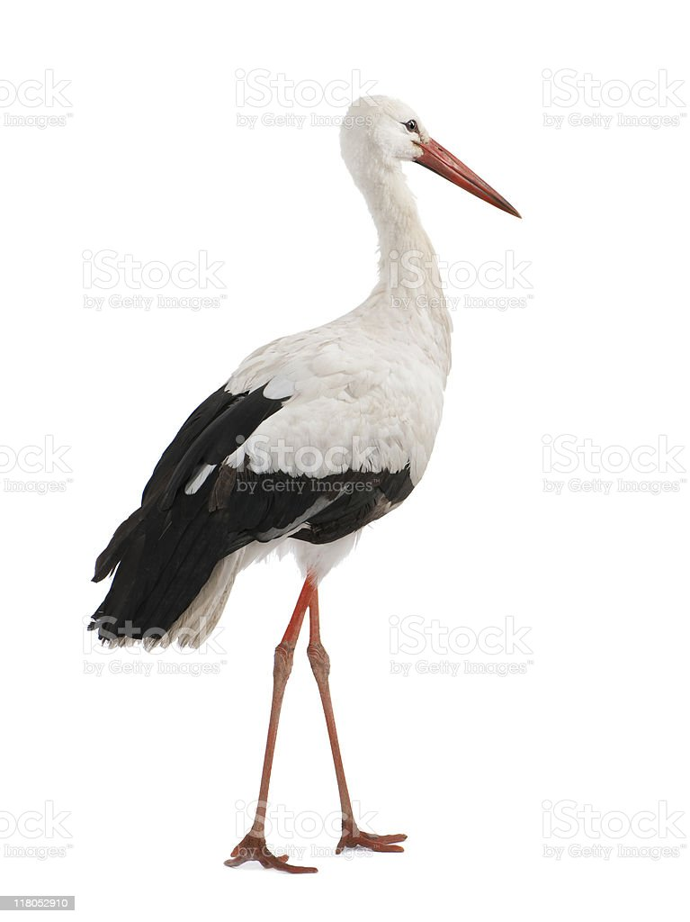 An young White Stork in a white background stock photo