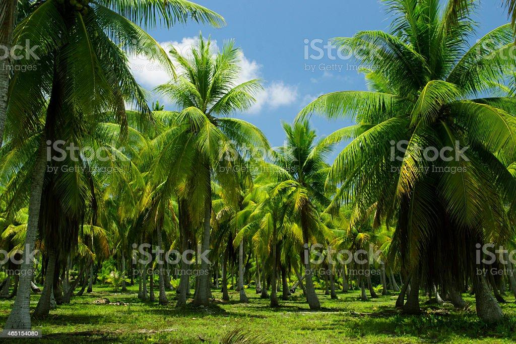 Anaa palms stock photo