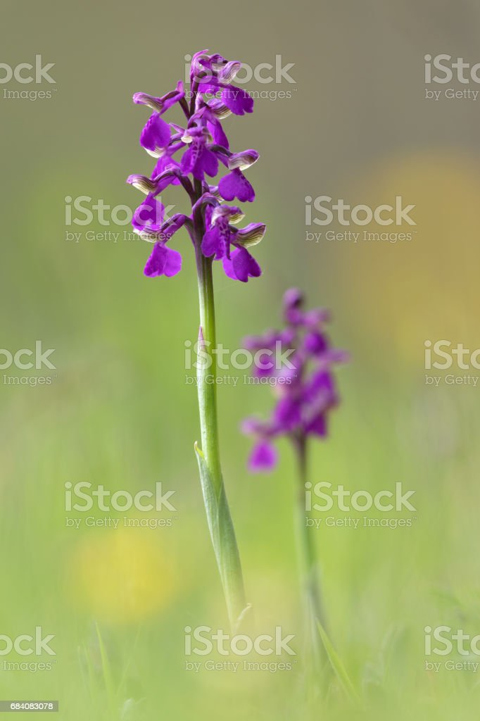 Anacamptis morio, the green-winged orchid or green-veined orchid stock photo