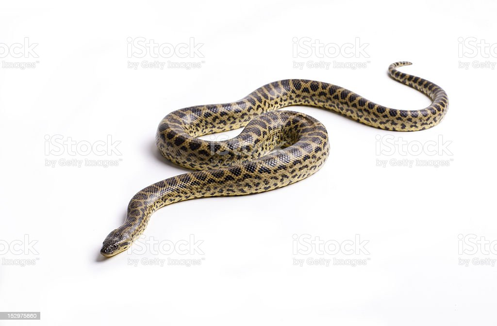 Anaconda royalty-free stock photo