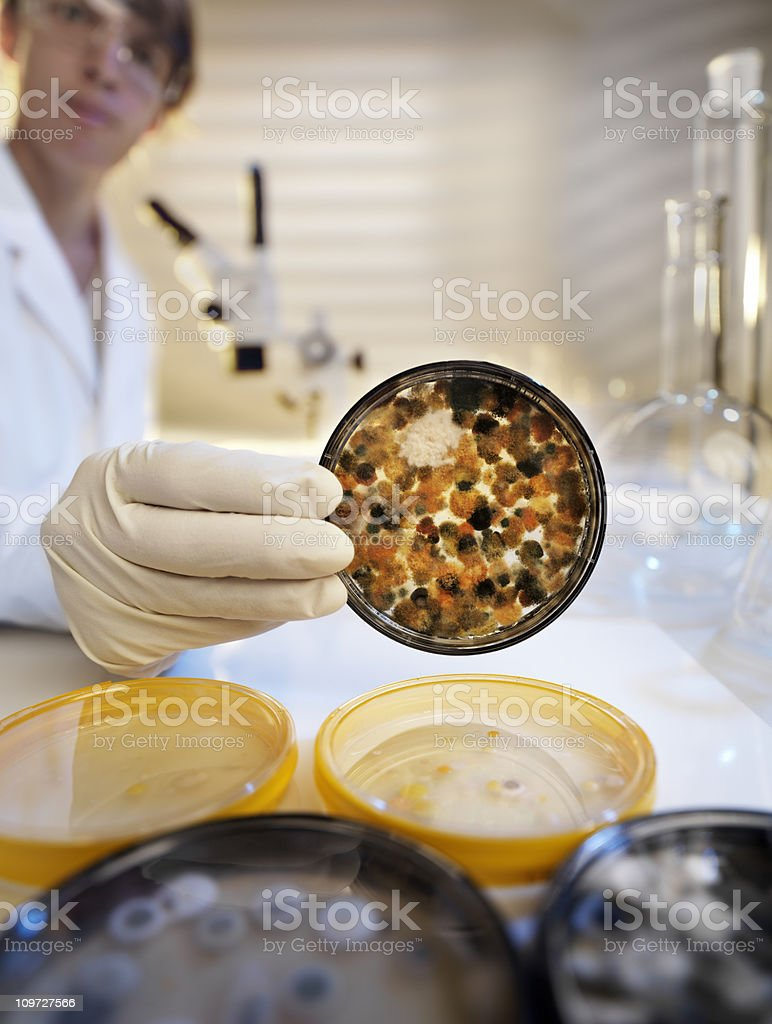 Analyzing mold culture on agar jelly, laboratory scene royalty-free stock photo